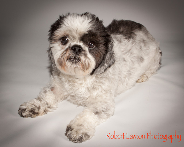 Strmn Shih Tzu Rescue Of Minnesota